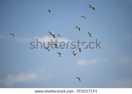 the black-headed gulls flying in the blue sky.  - stock photo