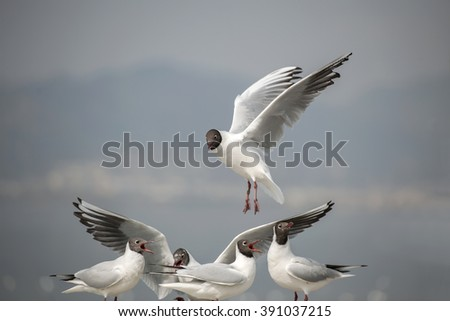 the black-headed gulls flying in the blue sky.