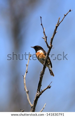 The black-headed small bird sits on a dry branch