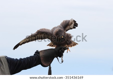 The black kite, Milvus migrans on falconry glove