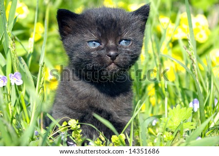 The Black kitty.The Small black kitty with blue eye walks in herb.