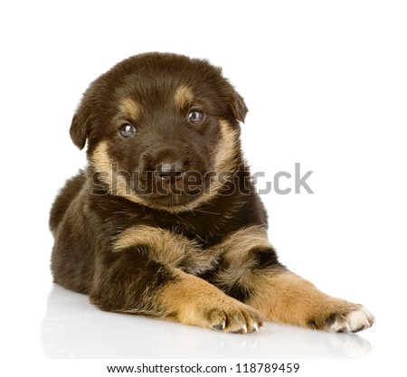 the black puppy lies. looking at camera. isolated on white background - stock photo
