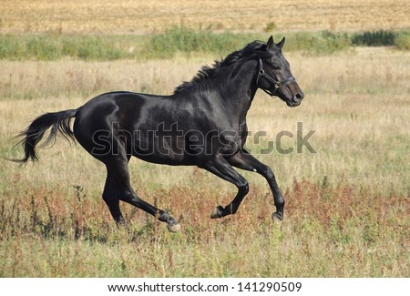 The black stallion of the Ukrainian breed gallops on a pasture
