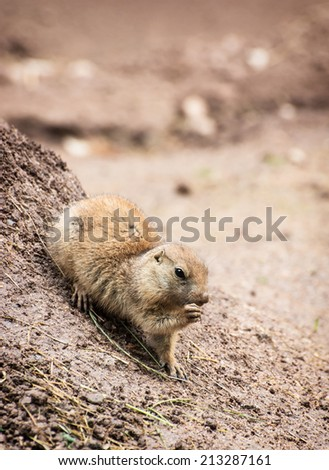 The Black-tailed prairie dog (Cynomys ludovicianus), is a rodent of the family Sciuridae found in the Great Plains of North America from about the USA-Canada border to the USA-Mexico border.  - stock photo