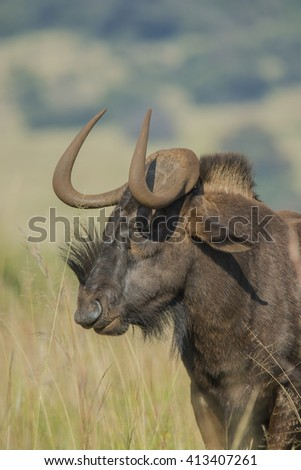 The black wildebeest or white-tailed gnu (Connochaetes gnou) ~ South Africa - stock photo