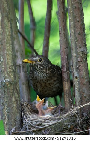 The Blackbird (urdus merula) at a nest with hungry baby birds. - stock photo