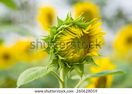 The blooming beautiful sunflower in a field - stock photo
