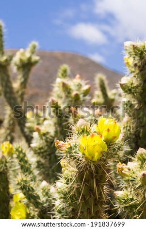 The blooming cactus in the Southern California desert during the afternoon light. - stock photo