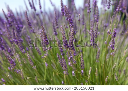 The blooming lavender  - stock photo