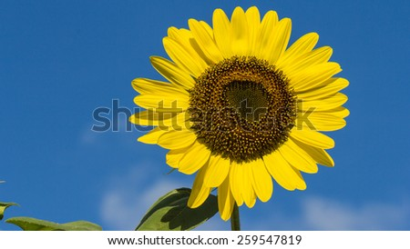 The blooming sunflowers on summer . - stock photo