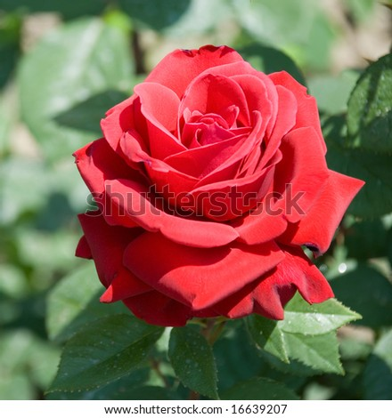 The blossom darkly red rose on effective blur a background