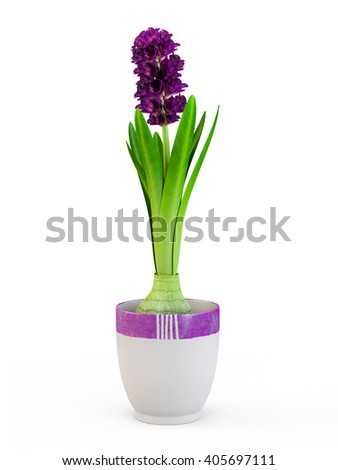The blossom hyacinth in nice purpule pot isolated on white background. 3D Rendering. - stock photo