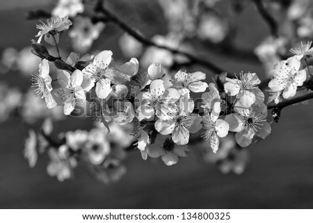 The blossom in april black and white - stock photo