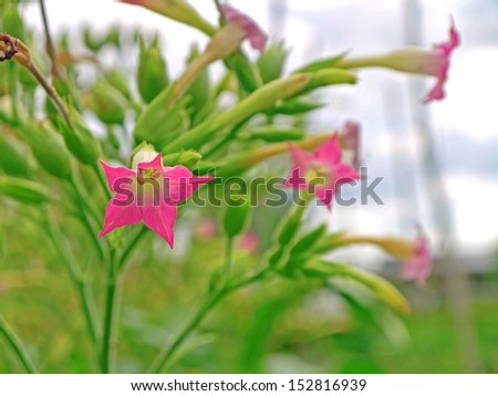 The blossom of a tobacco plant. - stock photo