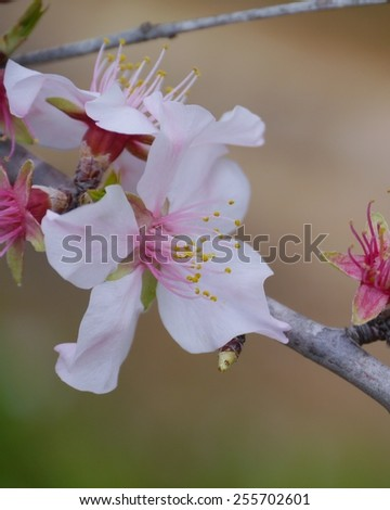The blossom of of a Prunus bush during springtime on the island Fuerteventura an Canary island belonging to Spain - stock photo