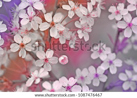 stock-photo-the-blossoming-cherry-branch