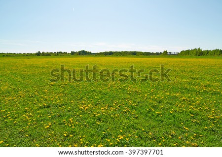the blossoming dandelions among a green grass in the sunny spring afternoon