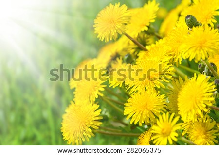 The blossoming dandelions in sunshine - stock photo
