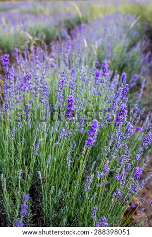 The blossoming lavender in beams of the sunset - stock photo