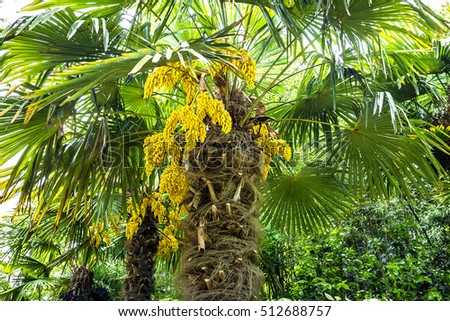 Blossoming palm tree yellow flowers nature stock photo royalty free the blossoming palm tree with yellow flowers in nature park mightylinksfo