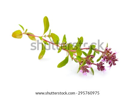 The blossoming thyme. Isolated on white background.