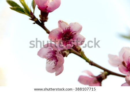 The blossoming trees, peach gardens