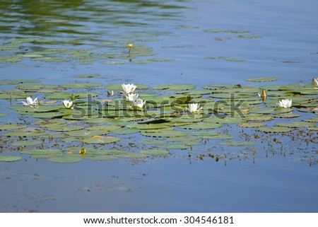 The blossoming water-lily white (Nymphaea alba L.) on a surface of the water - stock photo