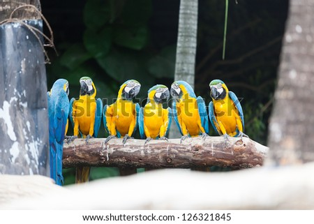 The Blue-and-yellow Macaw (Ara ararauna), also known as the Blue-and-gold Macaw, is a member of the group of large Neotropical parrots known as macaws. - stock photo
