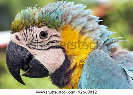 The Blue-and-yellow Macaw (Ara ararauna), also known as the Blue-and-gold Macaw, is a member of the group of large Neotropical parrots known as macaws. Seen here in the Peruvian Amazon. - stock photo