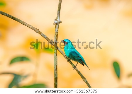 The blue dacnis (Dacnis cayana) or turquoise honeycreeper at the Iguazu Waterfalls National Park