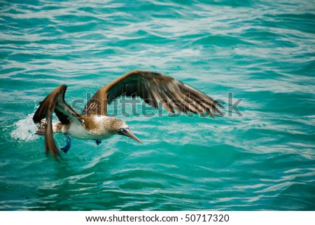 The Blue-footed Booby (Sula nebouxii) is a bird in the Sulidae family. From the Galapagos Islands. - stock photo
