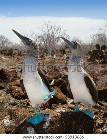 The Blue-footed Boobyis a bird in the Sulidae family which comprises ten species of long-winged seabirds./ Marriage dances of  Blue-footed Boobyis - stock photo