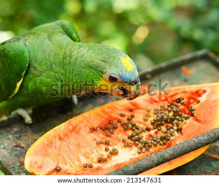 The Blue-fronted Amazon (Amazona aestiva), also called the Turquoise-fronted Amazon and Blue-fronted Parrot - stock photo