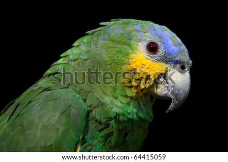 The Blue-headed Parrot, also known as the Blue-headed Pionus, Pionus menstruus, is a medium large parrot. - stock photo