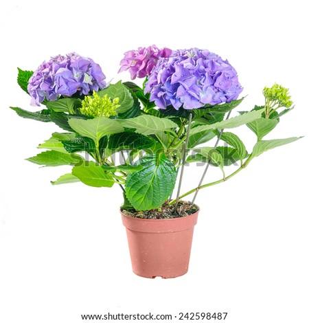 Blue Hydrangea Pot On White Background Stock Photo (Edit Now ...