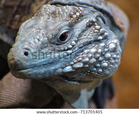 The Blue Iguana Cyclura Lewisi Also Known As Grand Cayman