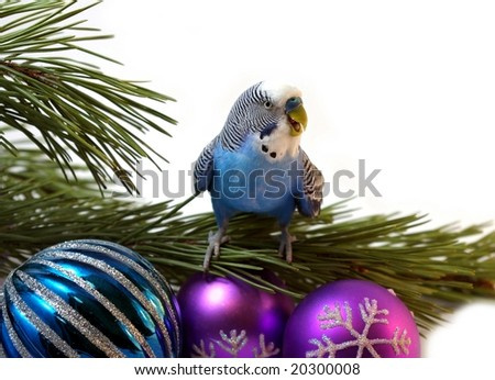 The Blue parrot on fir tree, Christmas. - stock photo