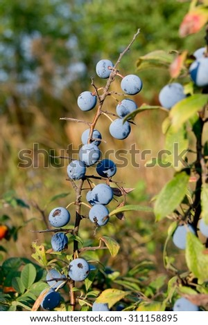 The blue sloe fruit of the autumn forest. - stock photo