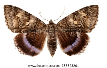 The Blue Underwing, also called the Clifden Nonparreil, (Catocala fraxina) a large moth from Europe