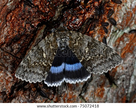 The Blue Underwing. (Catocala fraxini) also called the Clifden nonpareil photographed at night.