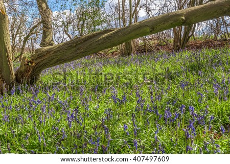 The Bluebell woodlands of Great Britain in the Springtime
