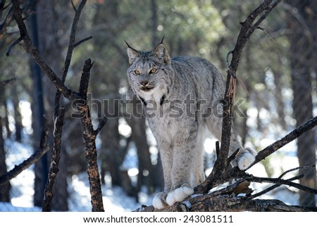 The bobcat is an adaptable predator that inhabits wooded areas, as well as semidesert, urban edge, forest edges, and swampland environments. - stock photo