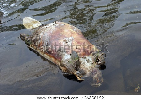 The body of a dead beaver floats on top of the water. - stock photo