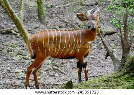 The bongo (Tragelaphus eurycerus)  is among the largest of the African forest antelope species - stock photo