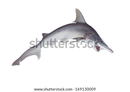 The bonnethead shark or shovelhead, Sphyrna tiburo, in profile. Isolated on white background - stock photo