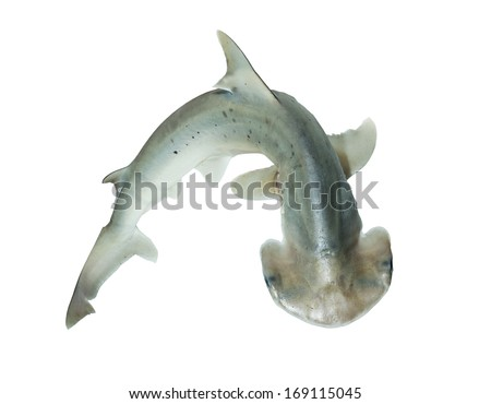 The bonnethead shark or shovelhead, Sphyrna tiburo, is a member of the hammerhead shark - stock photo