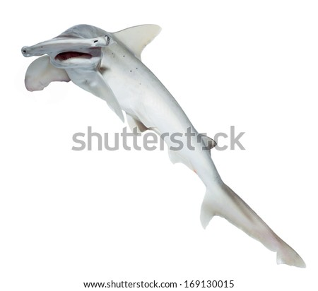 The bonnethead shark or shovelhead, Sphyrna tiburo, on a white background. Isolated  - stock photo
