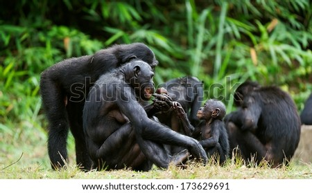 The Bonobo ( Pan paniscus) family, called the pygmy chimpanzee. Democratic Republic of Congo. Africa    - stock photo