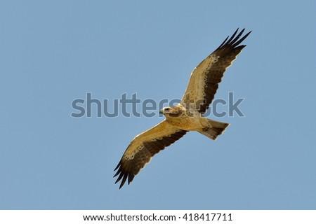 The Booted Eagle in flight (Aquila pennata) - stock photo