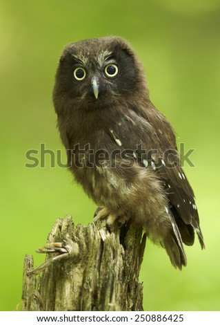 The boreal owl (Aegolius funereus) - young  - stock photo